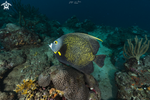 A French angelfish