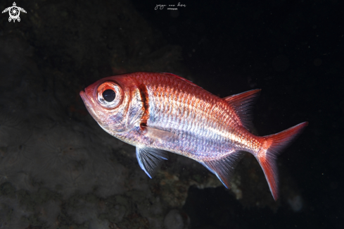 A Myripristis jacobus | Soldierfish