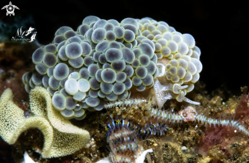 A Grape doto nudibranch  with eggs