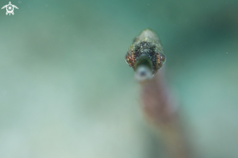A Stick pipefish