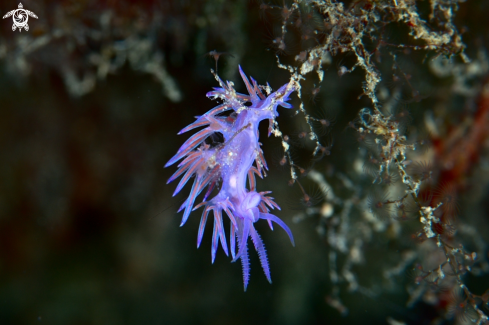 A Flabellina affinis nudibranch