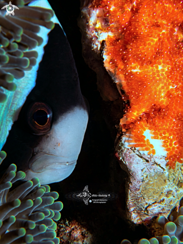 A Amphiprion | Clownfish
