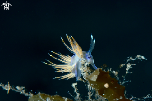 Dondice trainitoi nudibranch