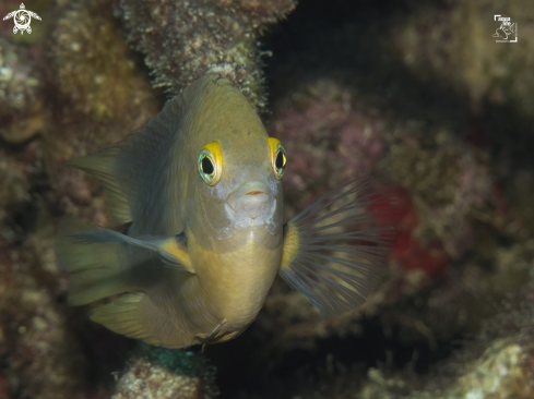 A Three Spot Damselfish