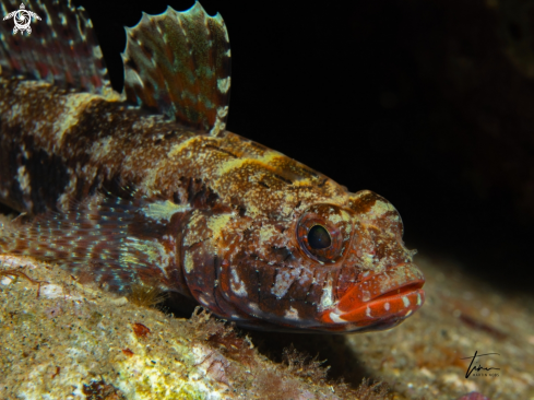A Red-mouthed Goby