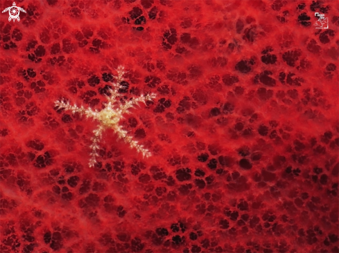 A Sea Star on Red Sponge