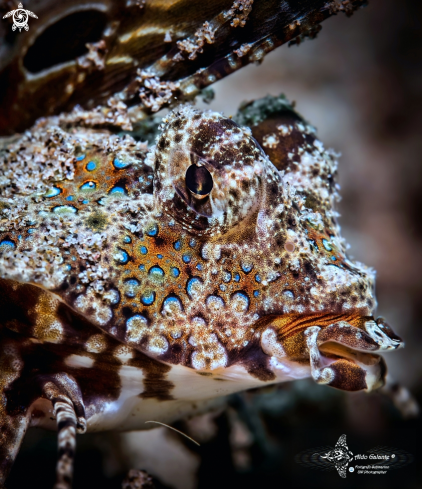 A Kuiters Dragonet