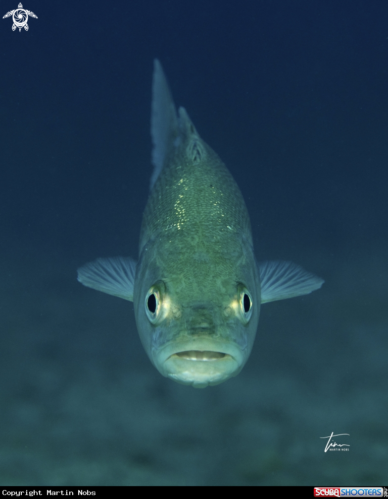 A European Sea Bass