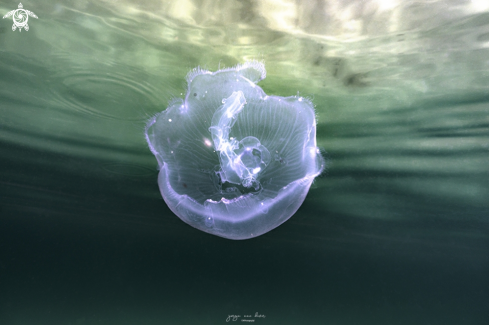 A Moon jellyfish
