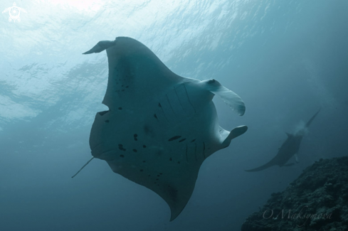 A Manta Ray Cleaning Station