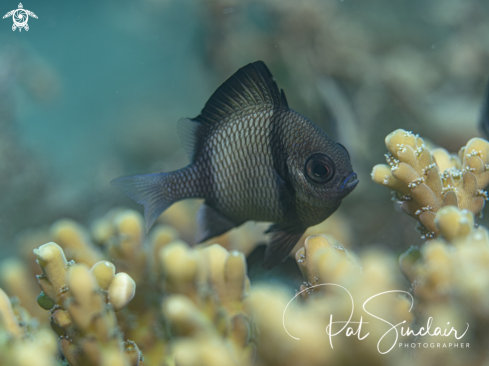A reticulated damselfish