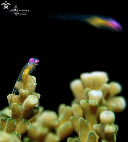 A Pink Eye Goby