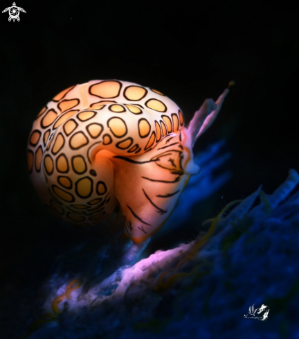 A Cyphoma gibbosum  | Flamingo Tongue