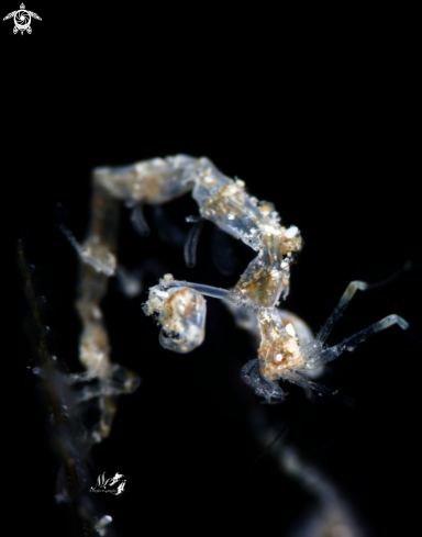 A Caprellidae | Skeleton Shrimp