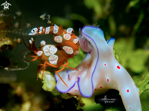 A Sexi Shrimp - Nudibranch