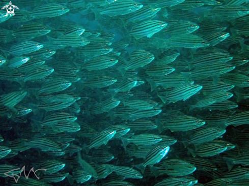 A Pelates sexlineatus | Eastern Striped Trumpeter