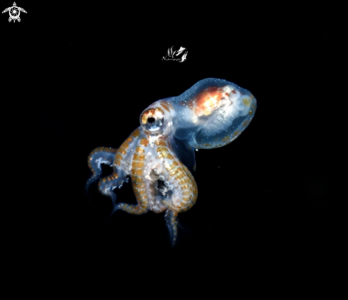 A Larval octopus