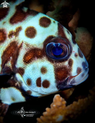 A Harlequin Fish
