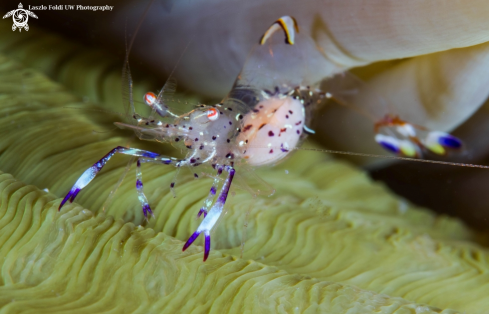 A Cleaner shrimp