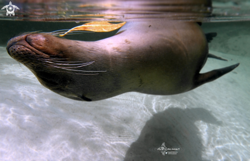 A Galapagos Sea Lion
