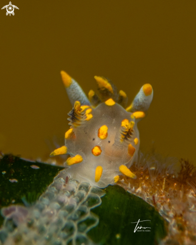 The Polycera quadrilineata