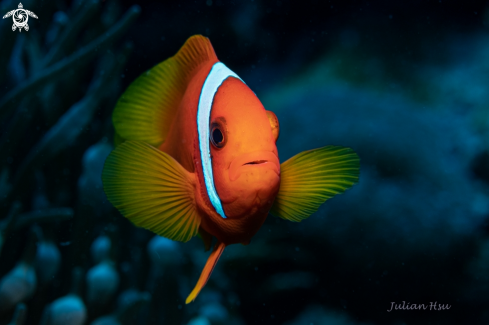 The Anemonefish