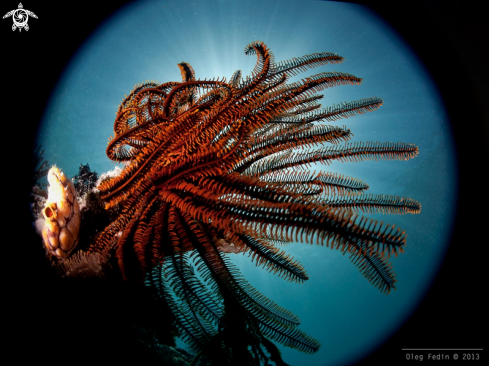 A Feather star