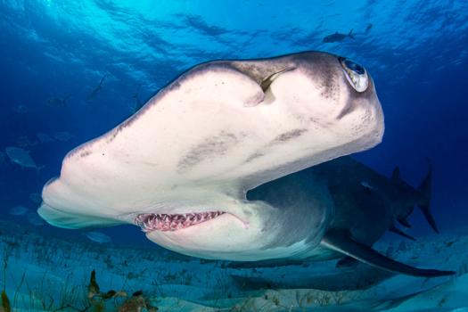 Hammerhead shark in Bimini Atoll