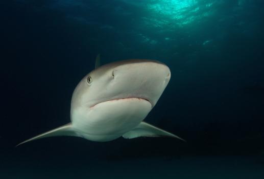 Shark in Tiger Beach - Bahamas