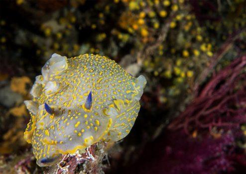 nudibranch felimare picta